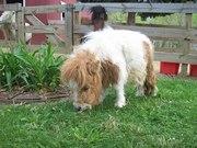 Продам пони: обычный пони,  мини пони ( Фалобелла )